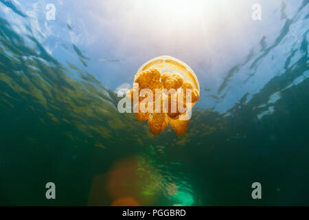 Underwater photo of endemic golden jellyfish in lake at Palau. - Stock Photo