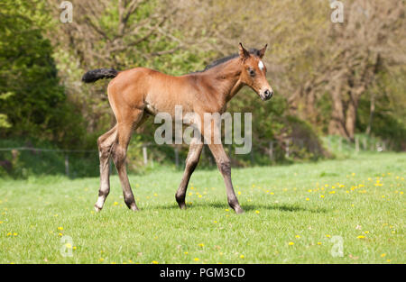a young brown Holsteiner foal in spring on a green pasture - Stock Photo