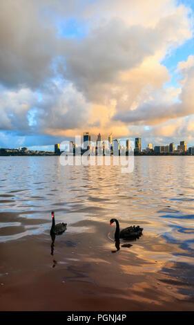 Two blacks swans (Cygnus atratus) on the Swan River at sunrise. - Stock Photo