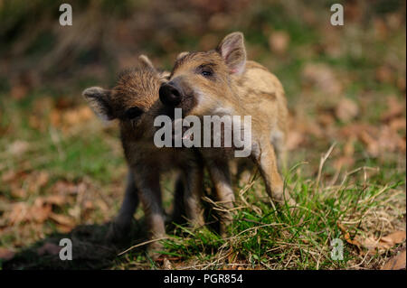 Wild boar piglets playing fight in the forest, spring, germany,  (sus scrofa) - Stock Photo