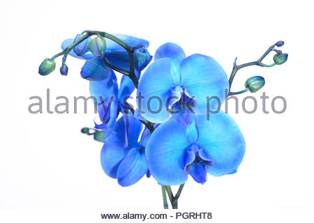 A beautiful blue orchid standing against a white background. The filigree colorful blue exotic flower has blossomed and is a symbol of life. - Stock Photo