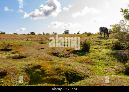 A high lights and darks contrasting landscape shot of a New Forest national park scene with lone cow grazing off centre. - Stock Photo