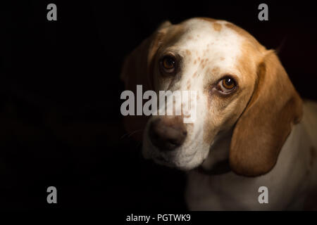 White and tan meduim sized dog with big brown eyes sitting in front of a black back ground - Stock Photo