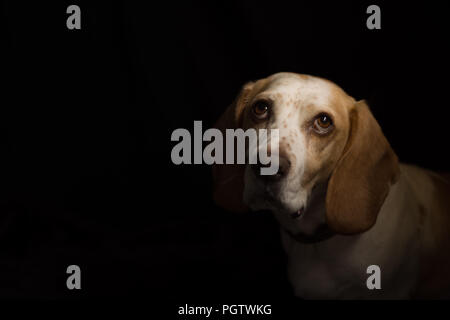 white and tan medium sized dog looking up with big brown eyes with a black back ground - Stock Photo