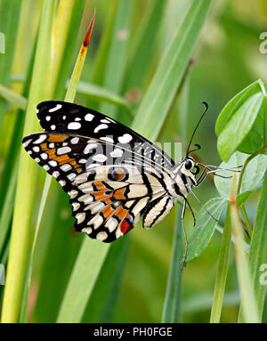 Papilio demoleus or lime butterfly in the green grass - Stock Photo