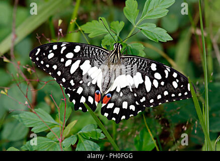 Papilio demoleus Linnaeus, 1758, Papilionidae family, or white lime butterfly in green grass and leaves. - Stock Photo