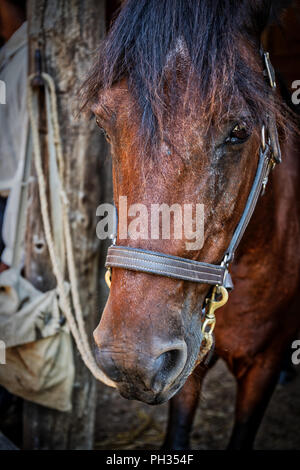 A brown horse standing in a stable on a farm. - Stock Photo
