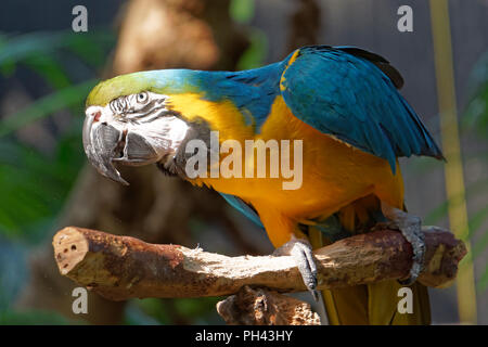 Close-up of a mature blue and gold macaw or blue and yellow macaw on a perch, Bloedel Conservatory, Vancouver, BC, Canada - Stock Photo
