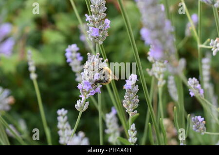 Bee taking nectar from lavender - Stock Photo