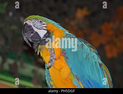 Blue and Yellow Macaw, Sitting on Perch - Stock Photo