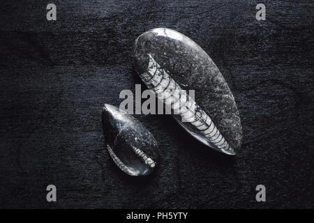 Orthoceras Fossils on Black Table - Stock Photo