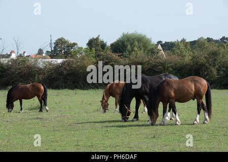 Horses grazing in a field in Iver Heath, Buckinghamshire, UK - Stock Photo