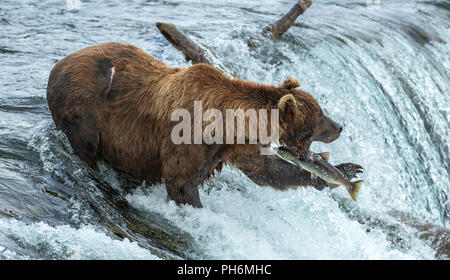 Male brown bear with mouth open standing in waterfall missing catching a jumping sockeye salmon. - Stock Photo