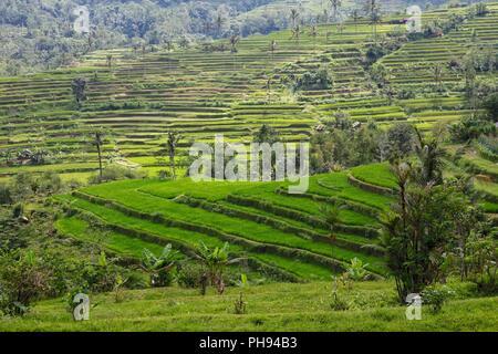 beautiful rice paddies at bali near ubud indonesia - Stock Photo