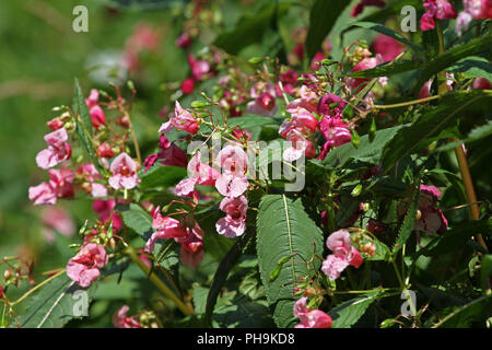 Impatiens glandulifera, Jewelweed, Himalayan balsam in the garden. Impatiens glandulifera flower bush outdoor in nature. Floral pattern. Flowers backg - Stock Photo