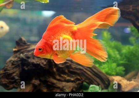 Goldener Ryukin Goldfisch, Red Ryukin Goldfish, Carassius auratus - Stock Photo