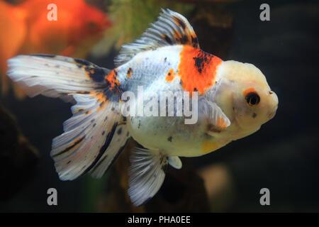 Goldfish Oranda, Carassius auratus - Stock Photo