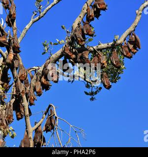 Large group of fruit bats hanging in a tree - Stock Photo