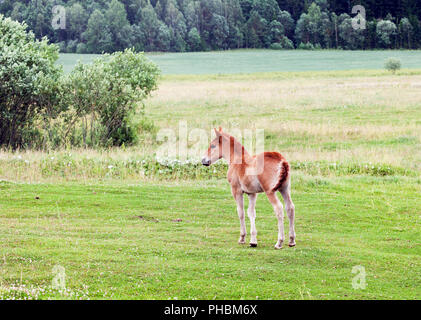 one small little foal on a pasture with green grass, summer - Stock Photo