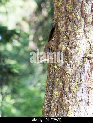 An American red squirrel defends its territory in Malhuer National Forest, Oregon. - Stock Photo