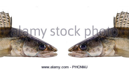 Walleye or Zander Ravenous monster fish isolated over white background - Stock Photo