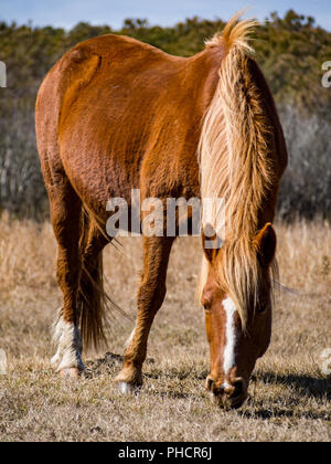 Wild Pony Grazing in Meadow, Assateague Island National Seashore - Stock Photo