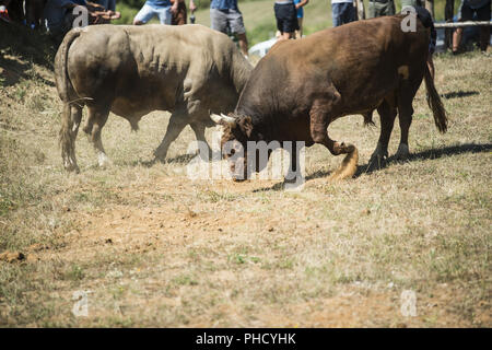 Bullfight in Bosnia - Stock Photo