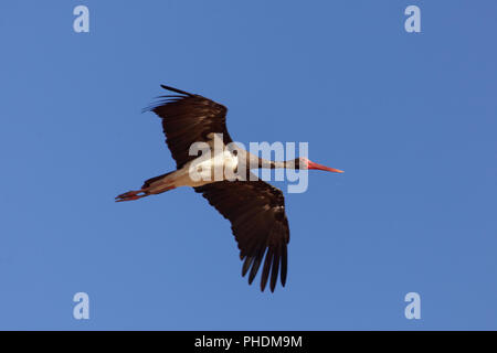 Black stork (Ciconia nigra) in flight with a blue sky. - Stock Photo