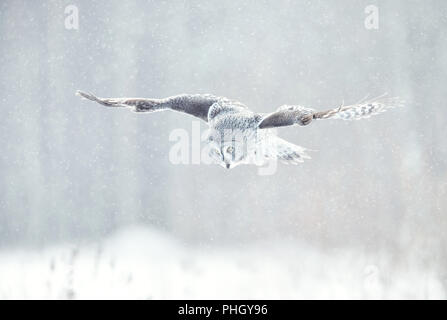 Close up of Great grey owl (Lapland owl) in flight in winter, Finland. - Stock Photo