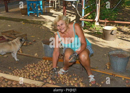 Sitting portrait of smiling blonde senior woman that is sorting root crop of homegrown potato in backyard. - Stock Photo