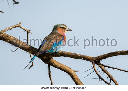 Lilac-breasted roller perched on thorny acacia branch - Stock Photo