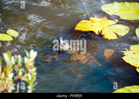Snapping turtle in its environment. - Stock Photo