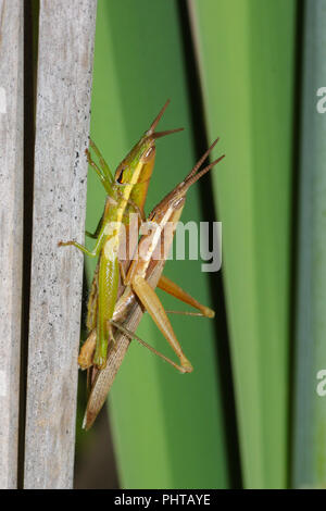 A pair of mating grasshoppers on cattails. - Stock Photo