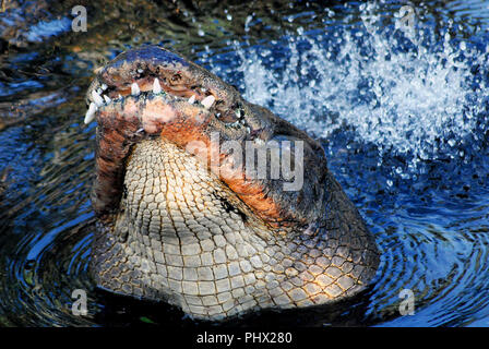 This alligator actually rose up out of the water in the Florida Everglades and bellowed while thrashing his tail.  This is in order to attract a mate. - Stock Photo