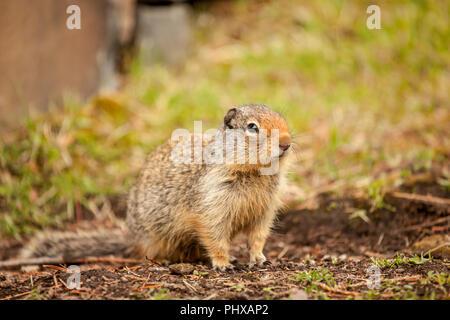 Columbian Ground Squirrel in Glacier National Park, Montana, USA - Stock Photo