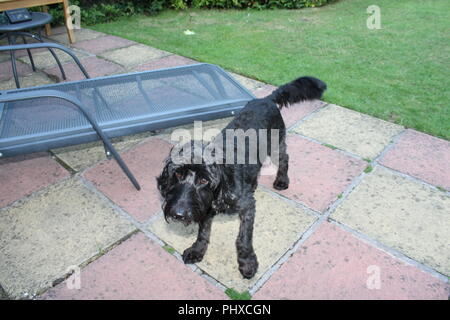 Cockapoo dog waits on garden patio - Stock Photo