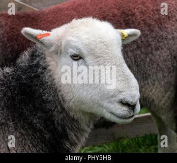Herdwick sheep at Moorcock Show, waiting to be judged. - Stock Photo