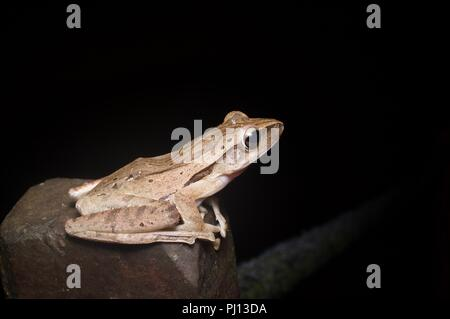 A Four-lined Tree Frog (Polypedates leucomystax) perched on a rock in the rainforest of Kubah National Park, Sarawak, East Malaysia, Borneo - Stock Photo