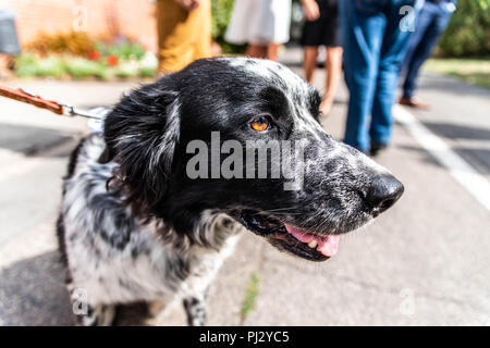 head and fsce of a border collie mixed breed black and white fur closeup bokeh. - Stock Photo