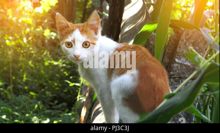 Red orange street cat with white spots standing and looking at me on a sunny day - Stock Photo