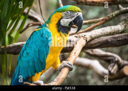 A colorful blue-and-gold macaw (also known as a blue-and-yellow macaw) at the St. Augustine Alligator Farm Zoological Park in St. Augustine, FL. (USA) - Stock Photo