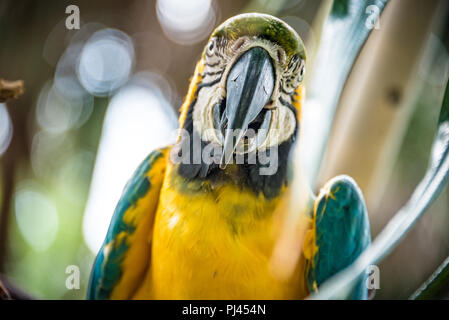 Blue-and-gold macaw (also known as a blue-and-yellow macaw) at the St. Augustine Alligator Farm Zoological Park in St. Augustine, FL. (USA) - Stock Photo