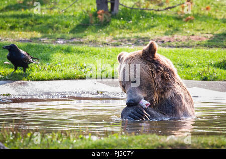 An adult brown bear (Ursus arctos horribilis) eats a trout while swimming in a pond. - Stock Photo
