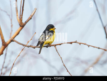 Lesser Goldfinch (Carduelis psaltria) perched in a tree, Jocotopec, Jalisco, Mexico - Stock Photo