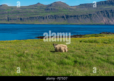 Icelandic single sheep - Stock Photo