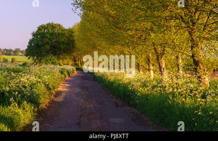 A single-track country lane runs through an avenue of trees and spring verge flowers near Glastonbury in England's Somerset Levels. - Stock Photo
