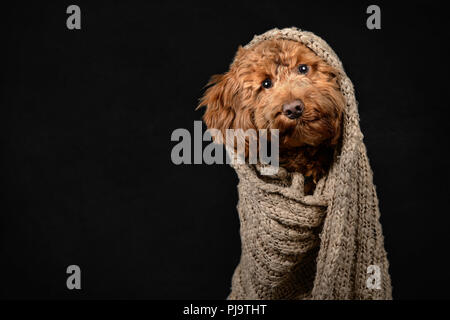 Cockerpoo Puppy Wrapped in Brown Blanket on Black Background - Stock Photo