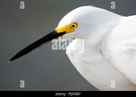 A closeup of a white egret along the sea shore in Florida, USA - Stock Photo