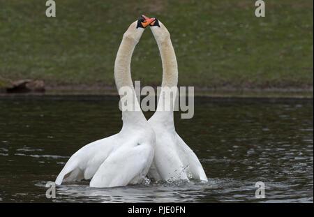 Mute Swans Cygnus olor courtship dance - Stock Photo