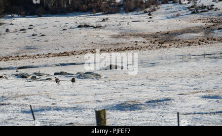 Two emus walking in a snowy field just off the Alpine Way, Australia - Stock Photo